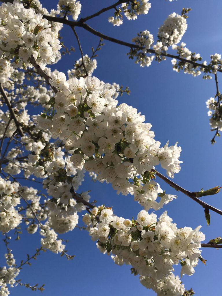 witte kersenbloesem
